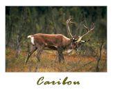 Cliquez ici pour visionner mon album de chasse au caribou